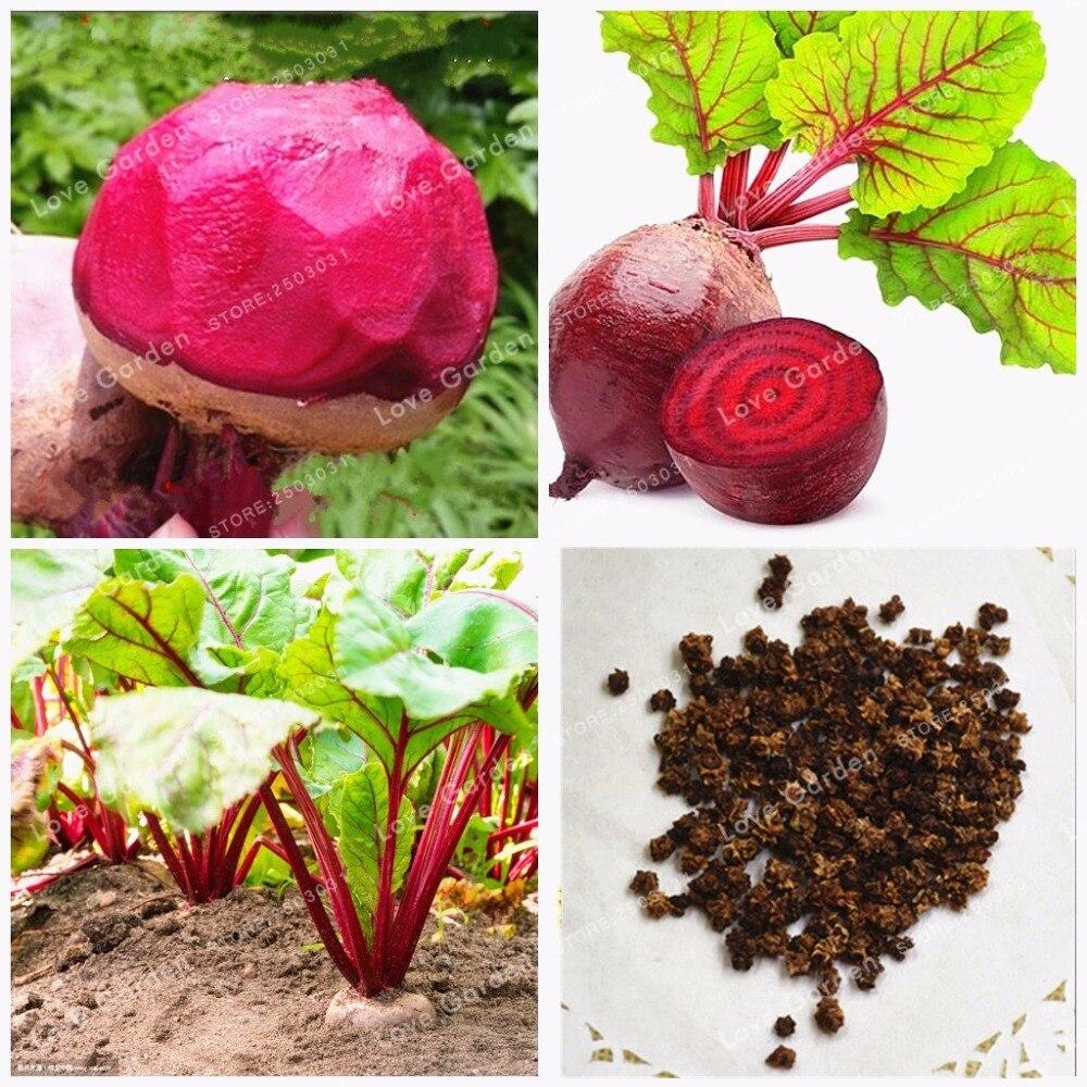 Лидер продаж свекла бонсай бета вулгарис овощи Бонсай оптом свекла бонсай не ГМО реликвия бонсай домашний сад 50 шт.