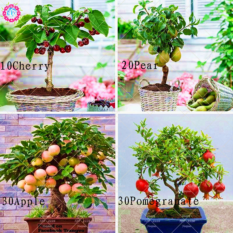 4 Kinds Of Fruit Seeds Bonsai Cherry Pear Apple Pomegranate Healthy Organic Fruit Seeds Perennial Potted Plant For Home Garden
