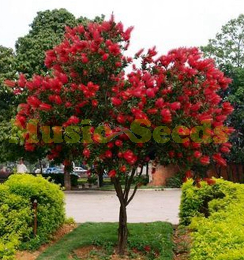 Popular red flower trees buy cheap red flower trees lots for Tree with red flowers