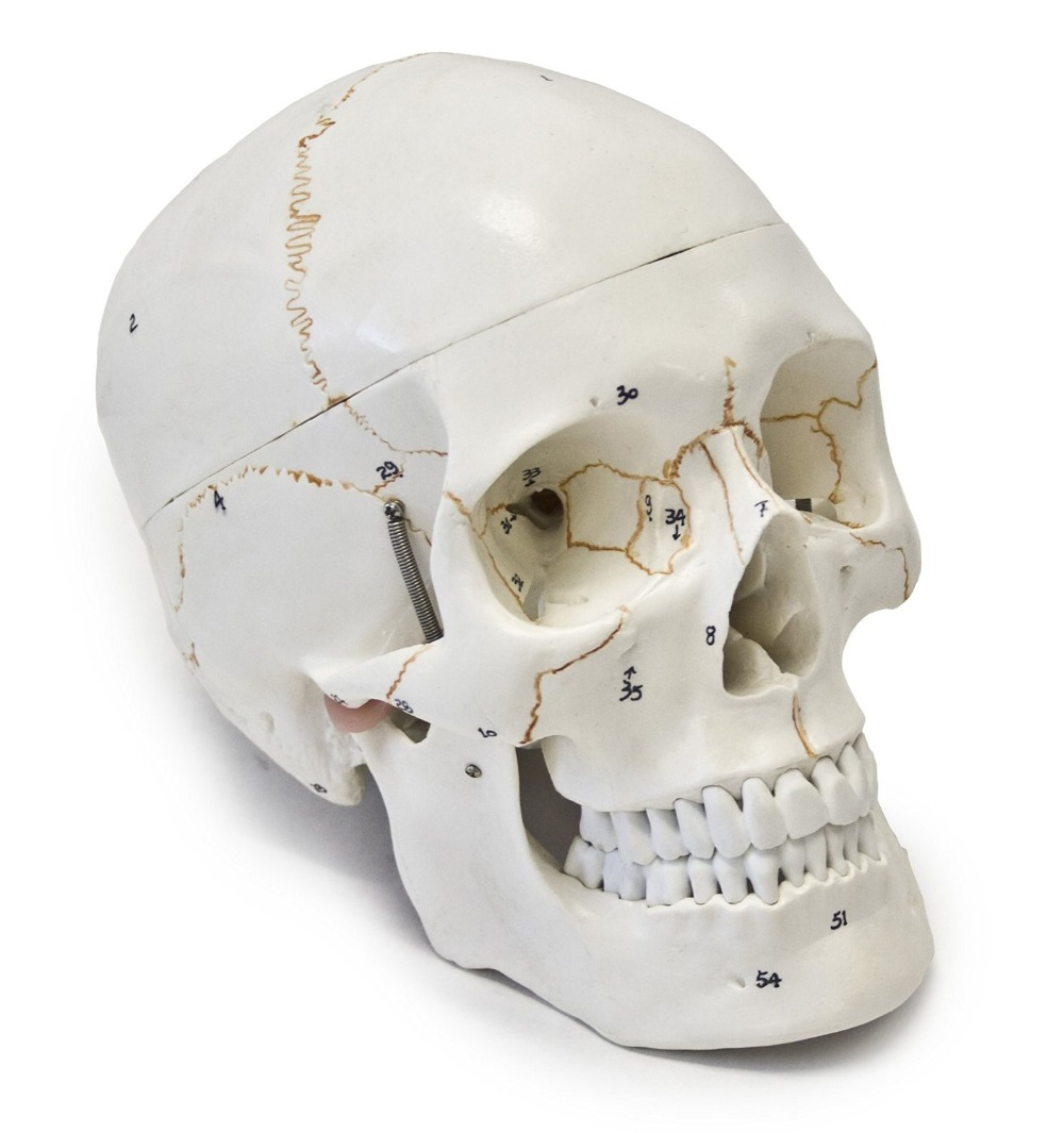 Beste Gesichtsknochenanatomie Galerie - Anatomie Ideen - finotti.info