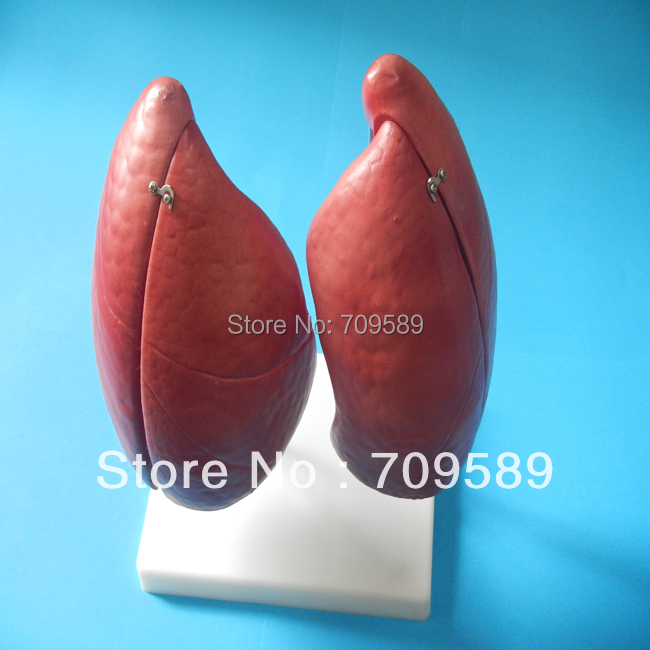 HOT SALES New Human Anatomical  Medical Lung Model cmam nasal01 section anatomy human nasal cavity model in 3 parts medical science educational teaching anatomical models