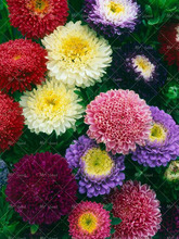Фотография 200pcs/bag aster seeds aster flower bonsai flower seeds rainbow chrysanthemum seeds Perennial flowers plant for home garden