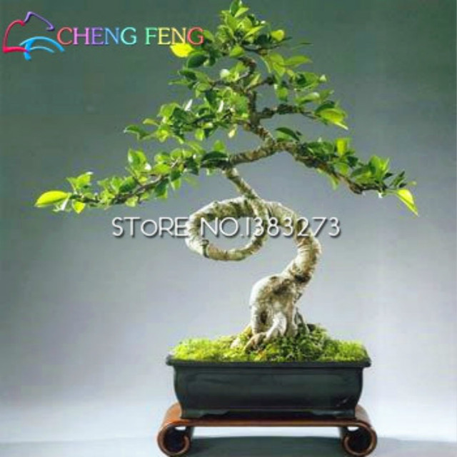 2016 Nuevo None pinocha De Flores plantas 10/bolsa Banyan árbol plantas Ficus Ginseng Bonsai bricolaje Jardín De la casa envío gratis