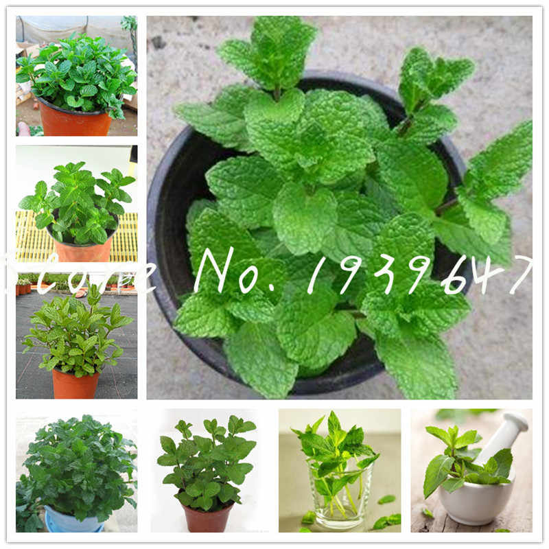 Hot Sale! 100 Pcs Spearmint Mint bonsai Edible Catnip Plant Flower Non-GMO Vegetable Bonsai Herb for Home Garden Easy to Grow