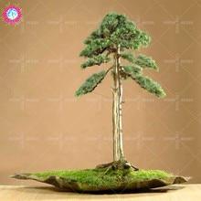 NEW !!!20 pcs/bag pine Seeds green bonsai tree seeds Pinus thunbergii Parl plant for home garden vertical perennial woody plants