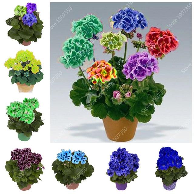 22 colores 50 unids/bolsa arcoíris Geranium Bonsai cuatro estaciones Variegated Geranium Pelargonium macetas jardín flor bonsái flor planta