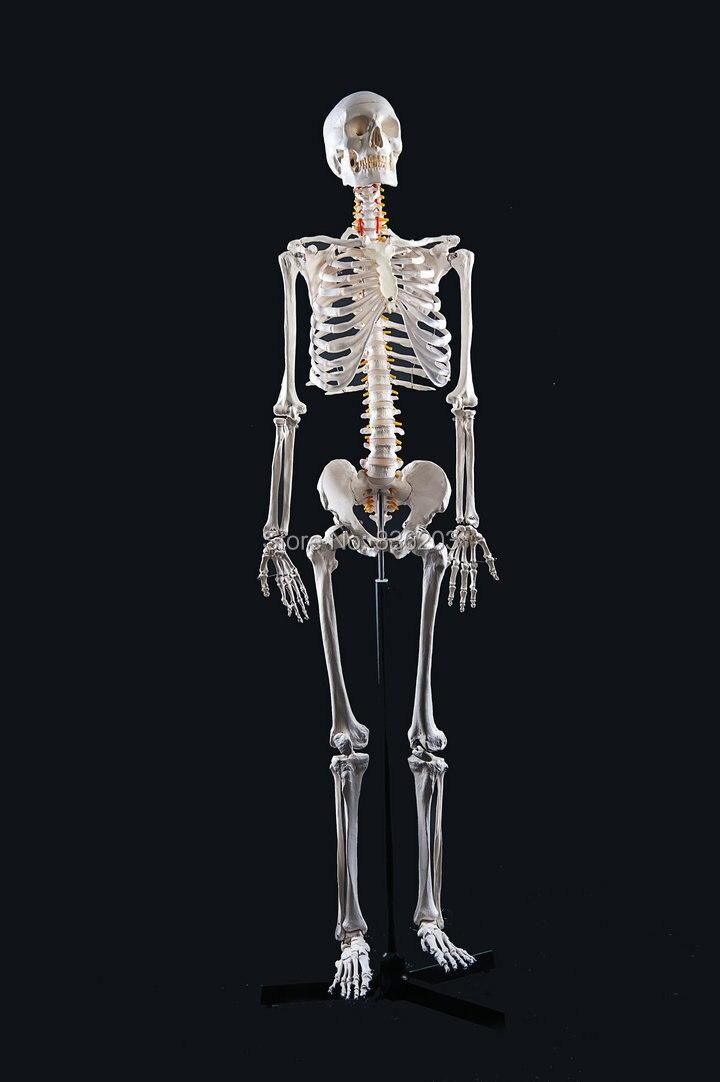 Lebensgroße Ganzkörper 170 cm menschlicher schädel anatomie skeleton ...