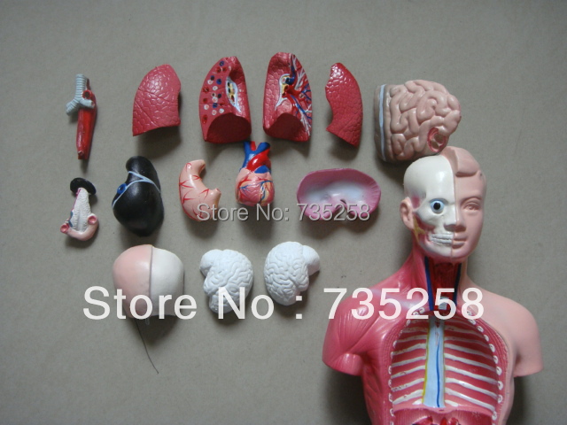 26CM Torso 15 Parts,The Human Body Anatomy Teaching Model,Human torso Model cmam viscera01 human anatomy stomach associated of the upper abdomen model in 6 parts