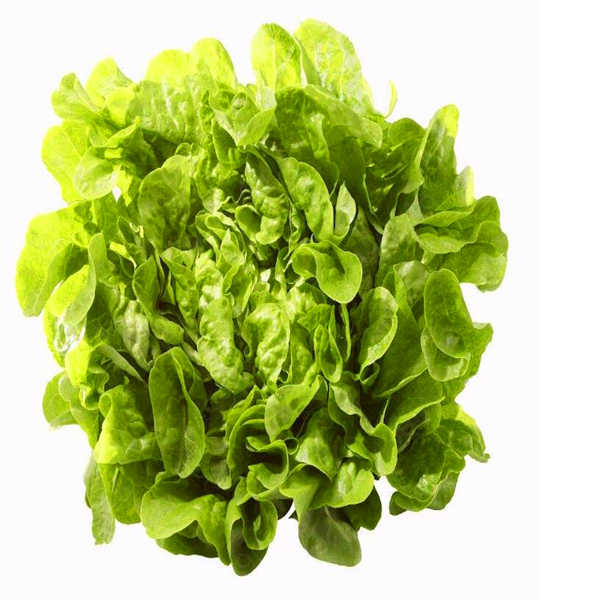 New 1000 pcs Greek Lettuce bonsai good taste, easy to grow, great salad choice ,DIY Home potted plants,organic vegetable herb