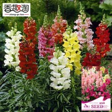 1 original pack 100pcs common snapdragon seeds, Garden Bonsai Planting Antirrhinum majus flowers seeds