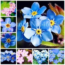 50 PCS Garden Myosotis Sylvatica Flowers Perennial Plants Outdoor Bloom Forget Me Not Bonsai Nature Flore Pot Planta Easy Grow(China)