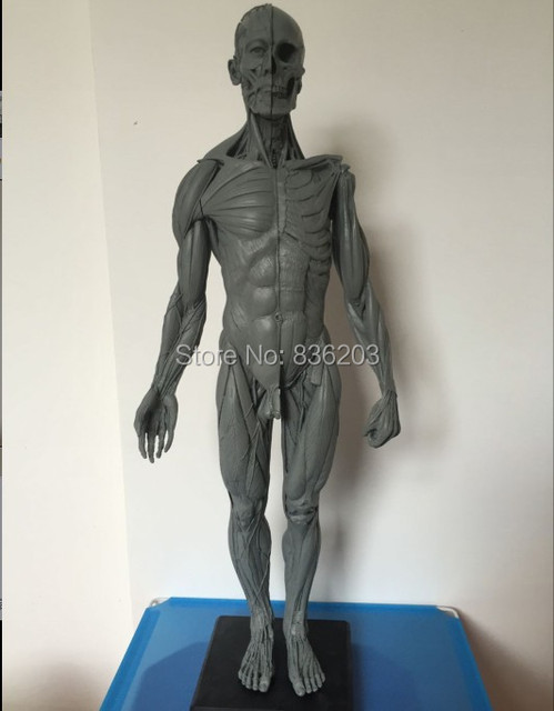 male anatomy model for students