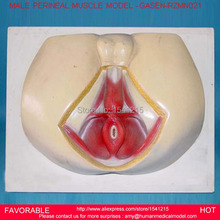 LIFE SIZE ANATOMY AND BIOLOGY EDUCATION MALE PERINEUM,MALE PERINEUM ANATOMY MODEL, ANATOMY PERINEUM MODEL-GASEN-RZMN021