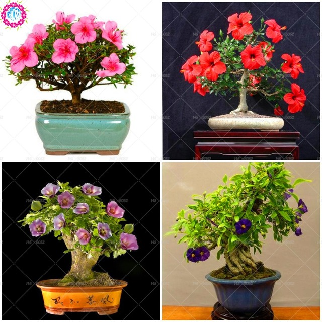 100pcsbag Bonsai Hibiscus Flower Chinese Rose Perennial Indoor