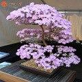 Semillas de Flores Bonsai flores de Cerezo japonés Sakura Cerezo Ornamental Planta 10 Partículas/lot