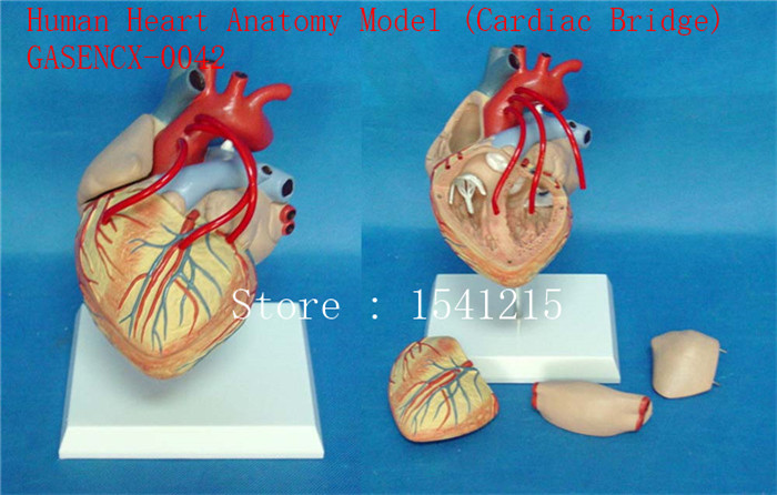 Cardiac bypass surgery model Teaching medicine Body specimen model Human Heart Anatomy M ...