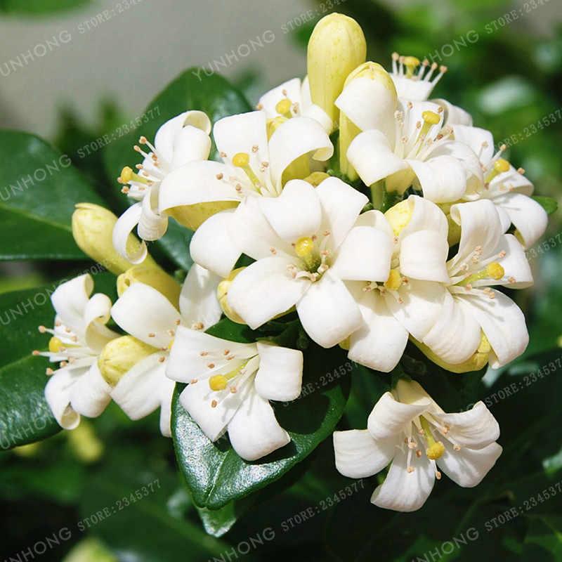Detail Feedback Questions About Heirloom 100 True Orange Jasmine