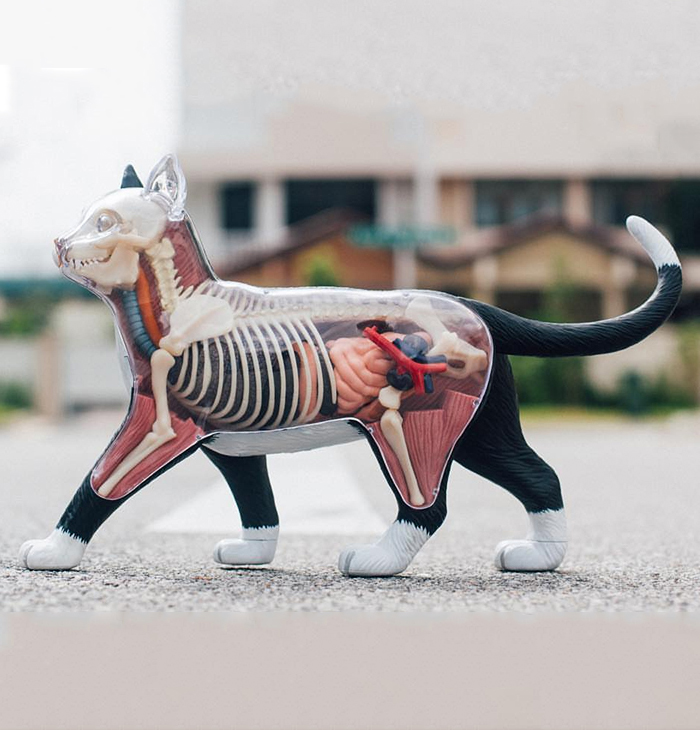 4D Vision THE DISSECTED CAT Funny ANATOMY MODEL Medical Skull Skeleton Anatomical Model Science Educational Toys For Kids