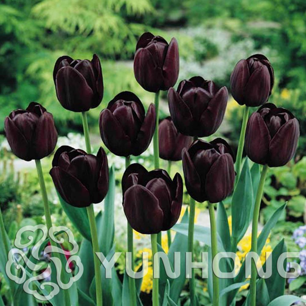 5 Pcs Lot Mini Black Tulip Bulb Bulb Root Flower Terrace Potted