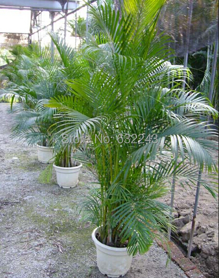 DIY Home Garden Plant 5 Seeds Genuine Chrysalidocarpus lutescens ...