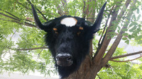 Большой Новый Моделирование Черная корова модели головы полиэтилена и меха коровы глава подарок около 56x38x50 см 2539