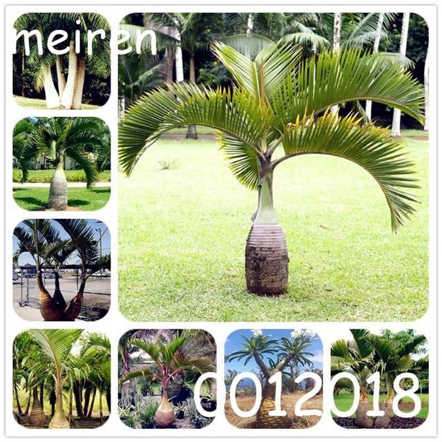 10 Bottiglia di pz/borsa Palm flores Piante Esotiche Albero Casa Giardino Balcon