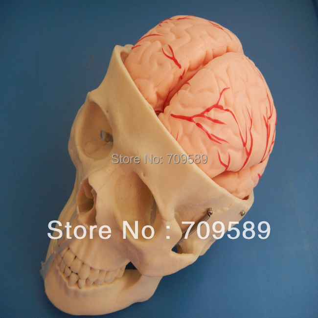 HOT SALES advanced Skull modle with 8 parts brain hot parts