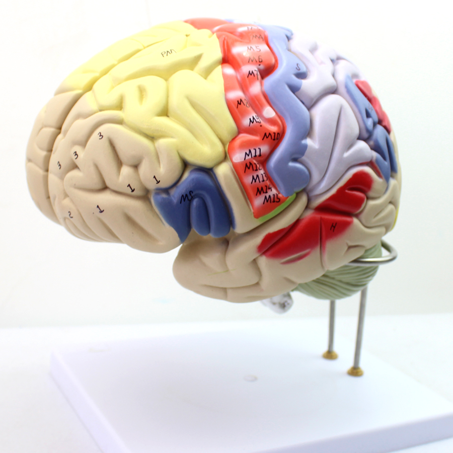 High end Medical Medical Two Times Magnified Version Of Human Brain ...