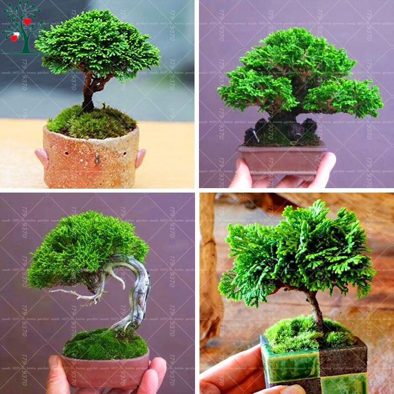 20 unids japon s mini negro pino semillas ornamentales for Arboles de jardin de hoja perenne