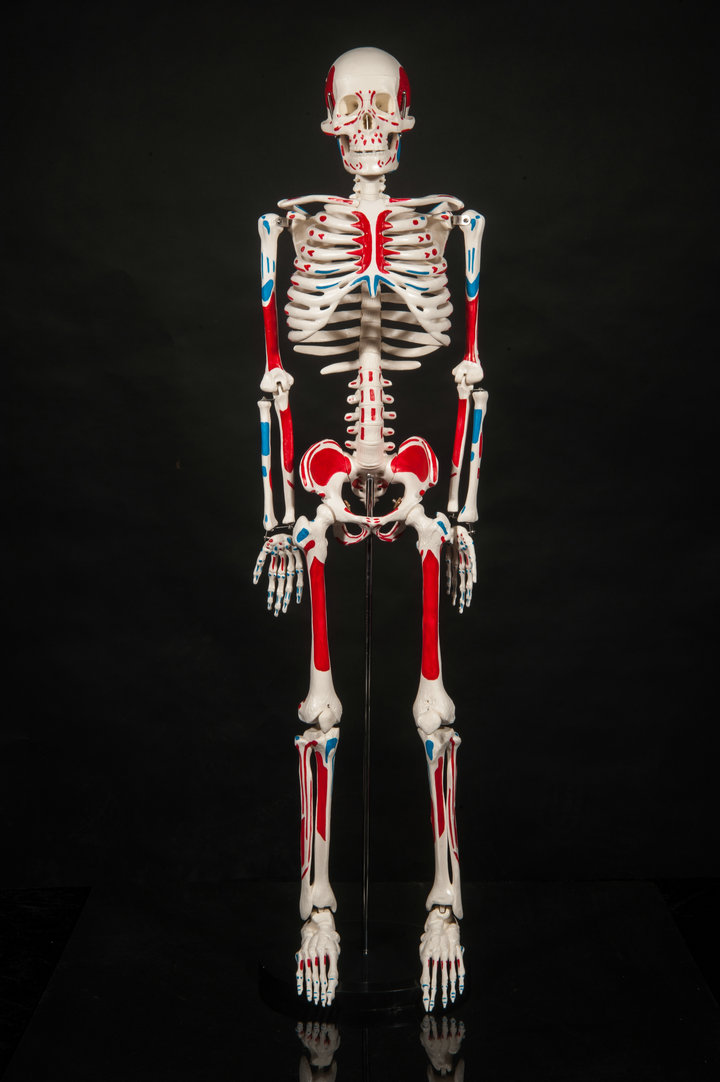 85cm Human skeleton anatomical model for sale Anatomical Anatomy ...