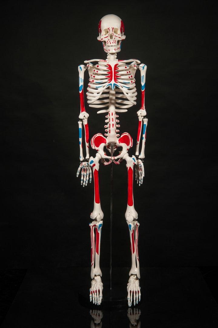popular human skeleton anatomical-buy cheap human skeleton, Skeleton