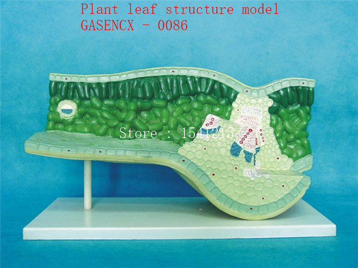 Plant anatomical model Biological teaching model Plant tissue Plant specimens Plant leaf structure model - GASENCX - 0086 plant tissue plant anatomical model biological teaching model plant specimens plant dicotyledonous stem model gasencx 0085