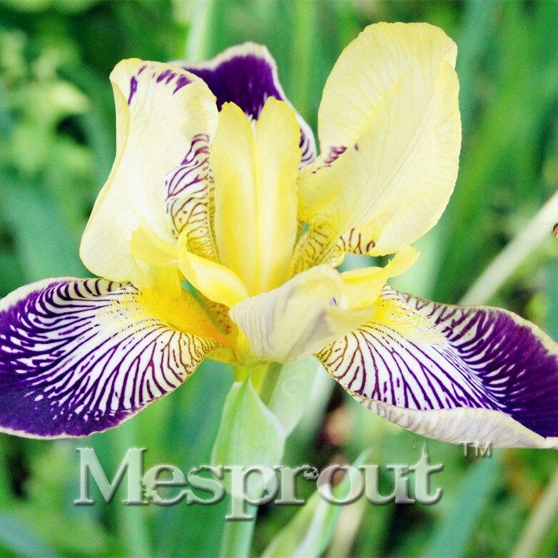 100% Verdaderas semillas Iris Mariposa semillas, orquídeas en maceta flores de Iris, raras