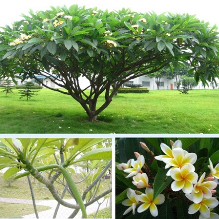 Free Shipping 20pcs Home Garden Frangipani Seeds, Egg Flower Woody Plants  Seeds, Flower Ornamental