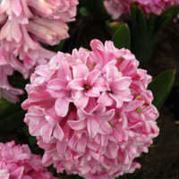 120 pcs Bonsai Pink Hyacinth Seeds Balcony Plant Seeds Hyacinthus Orientalis Flower Seeds Potted Plants for Home&garden