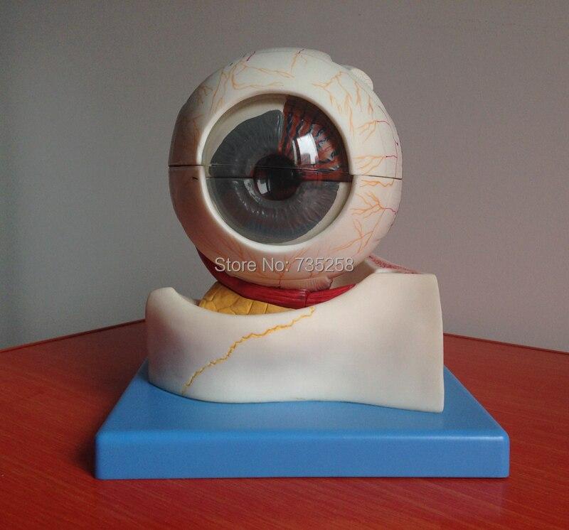 anziano di occhio umano , orbitale di amplificazione , bulbo oculare modello di strutturaanziano di occhio umano , orbitale di amplificazione , bulbo oculare modello di struttura