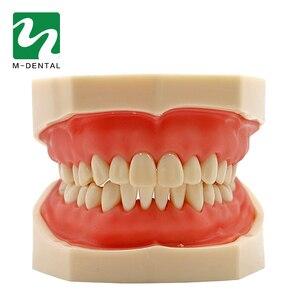 Image 5 - Modèle de dent dentaire Standard amovible avec dents de 28 pièces pour le modèle de Simulation denseignement