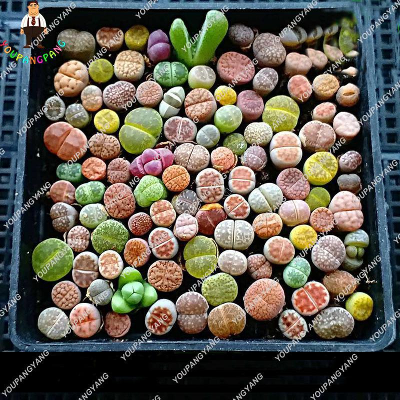 200pcs Rare Mix Lithops Seeds Living Stones Succulent Cactus Organic Garden Bulk Seed bonsai seeds for indoor succulent plants