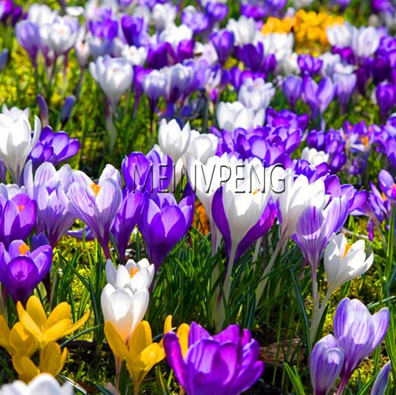 Promotion! Saffron Bonsai Garden Flowers Plant DIY Home Garden 20 Particles / Lot,#JH5T87
