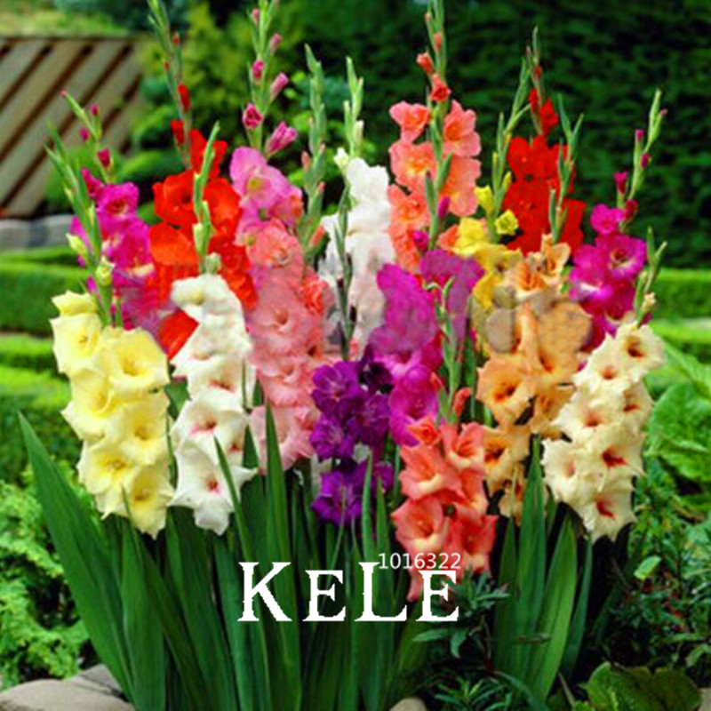 Best-Selling!100 Pcs/pack Different Perennial Gladiolus Flower Bonsai, Rare Sword Lily Plant Very Beautoful For Home Garden Pla