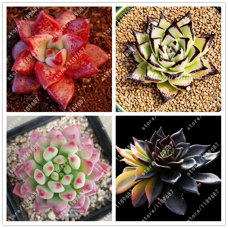 100pcs/bag Succulent seeds echeveria succulents lithops seeds bonsai flower seeds indoor plant for home ggrden