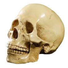 Modelo 1: 1, Calavera anatómica de resina, decoración de enseñanza, amarilla
