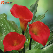 White Calla Lily seeds Flower Seed DIY Potted Plants Radiation Absorption Flower Seeds 100 Particles / lot