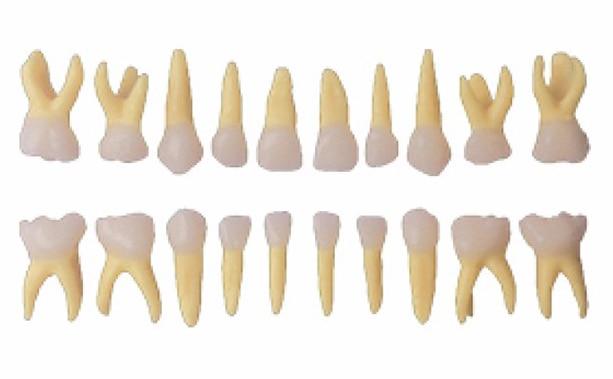 20 unids/set dental los dientes primarios modelo anatomía tamaño ...