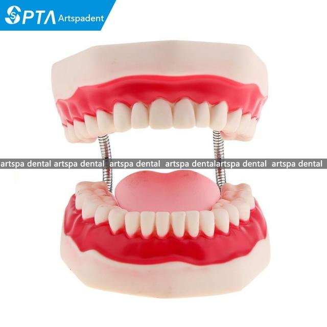 Modèle de dents de démonstration de Typodont denseignement dentaire élargi