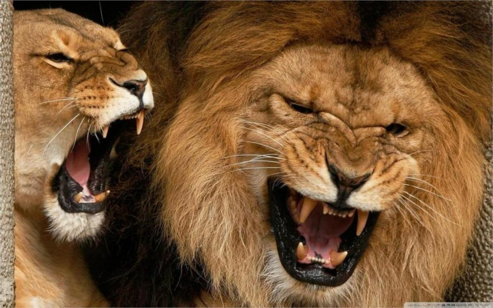 Animal lions aggression 5 Sizes Silk Fabric Canvas Painting Poster Printing Wall Pictures