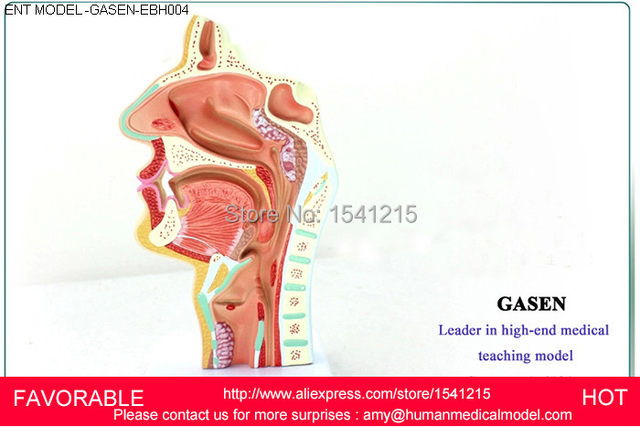 Online Shop Ent Medical Nasal Anatomical Model Muzzle Nose Cavity