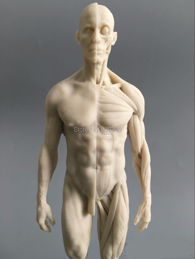 1:6 30 cm weiß Menschlichen anatomie Männlichen & weibliches Fleisch ...
