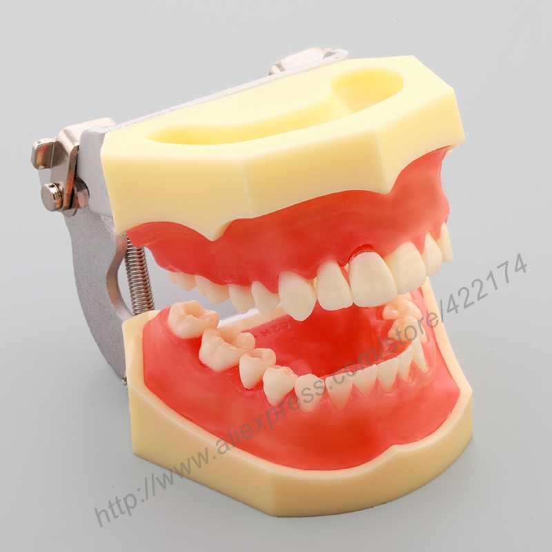 Free Shipping Standard model with transparent gum dental tooth teeth dentist dentistry anatomical anatomy model odontologia soarday children primary teeth alternating transparent model dental root clearly displayed dentist patient communication
