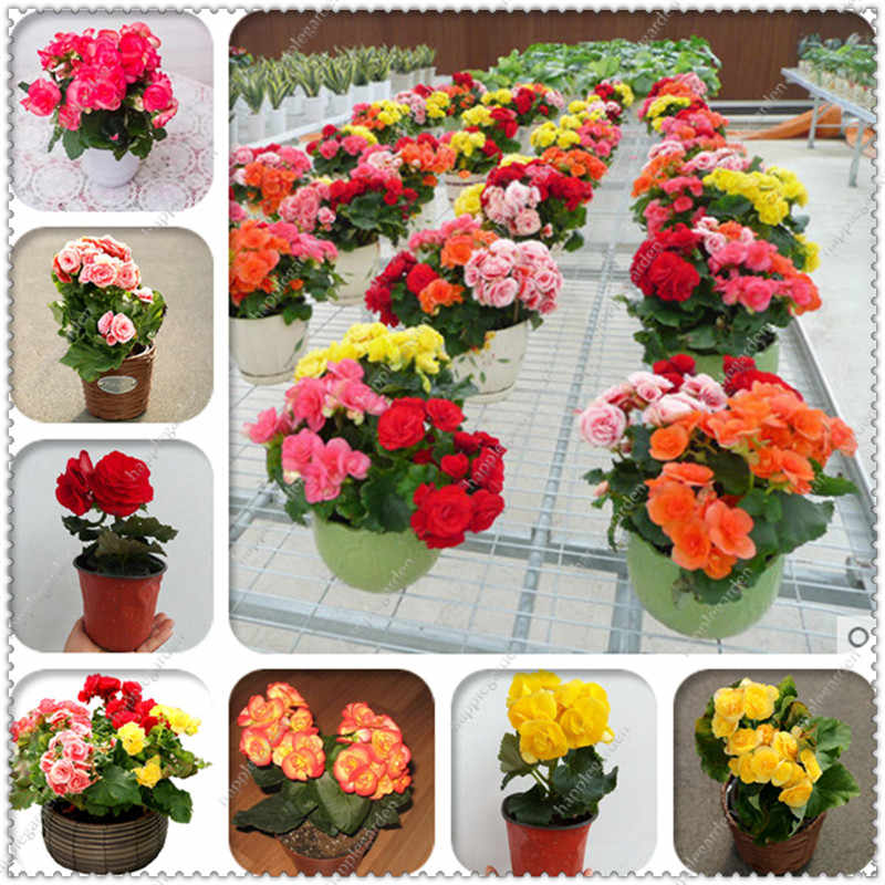 Hot Sale 200 Pcs/bag Decor Beautiful Begonia Flower Potted Bonsai Garden Wall Ornamental Plant Home For Christmas Tree Easy Grow